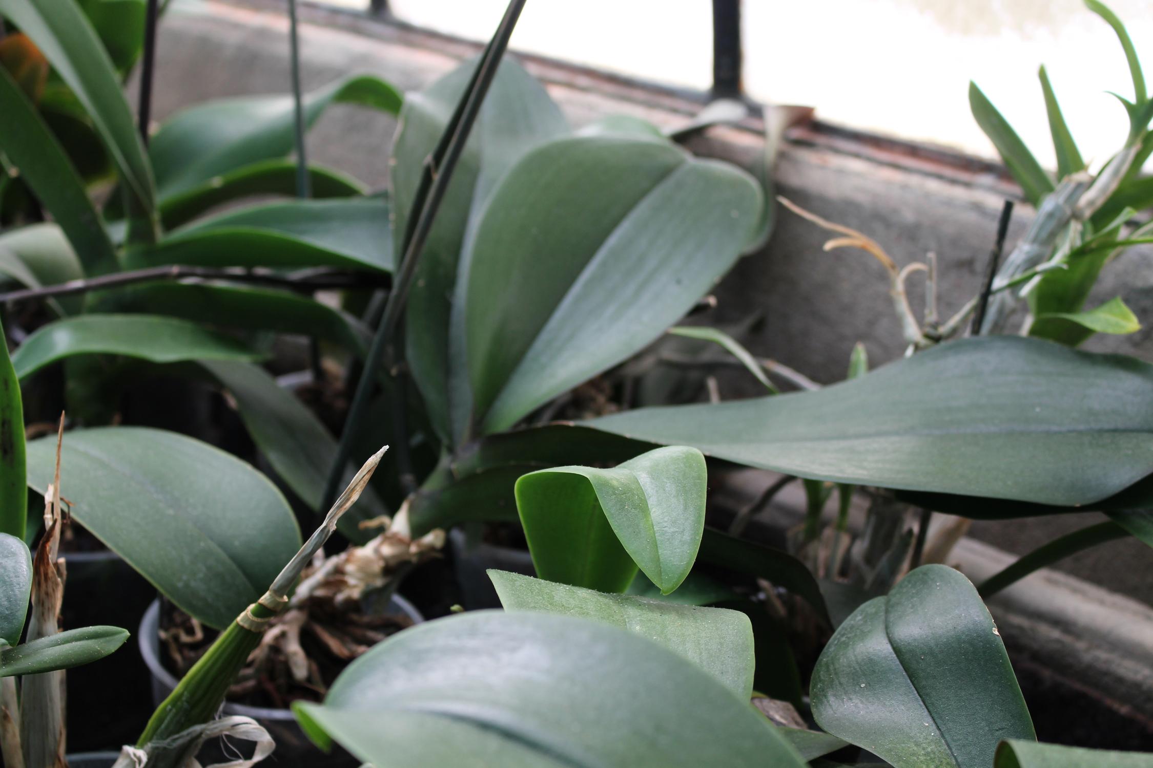 orchidee_16